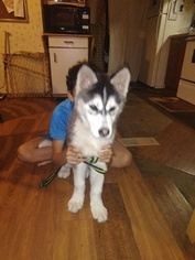 Alaskan Husky Puppy For Sale in DALLAS, TX, USA