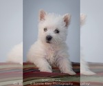 Small #1 West Highland White Terrier