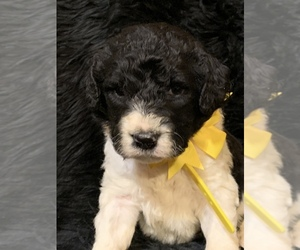 Newfoundland-Poodle (Standard) Mix Puppy for sale in DALE, IN, USA
