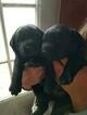 Labrador Retriever Puppy For Sale in STANLEY, VA, USA