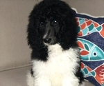 Small #6 Poodle (Standard)