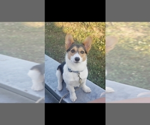 Mother of the Pembroke Welsh Corgi puppies born on 11/08/2020