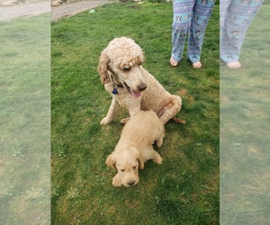 Labradoodle Puppy for Sale in WASHOUGAL, Washington USA