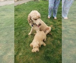 Labradoodle Puppy For Sale in WASHOUGAL, WA, USA