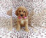 Adorable Mini Cockapoo Puppy