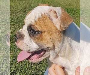 Olde English Bulldogge Dog for Adoption in MOUNT AIRY, North Carolina USA