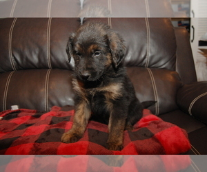 Golden Shepherd Puppy for Sale in MORRIS, Alabama USA