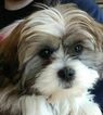 Beautiful Female Shih Tzu Puppy