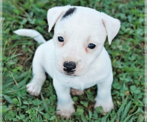 Jack Russell Terrier Puppy for sale in APPLE GROVE, WV, USA
