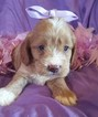 Cocker Spaniel-Poodle (Miniature) Mix Puppy For Sale in EXETER, MO
