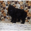Poodle (Toy) Puppy For Sale in TUCSON, AZ