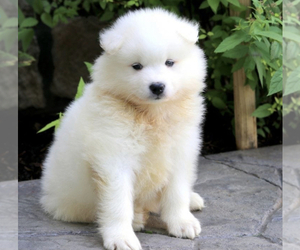 Samoyed Puppy for sale in GLYNDON, MD, USA