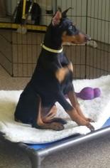 Doberman Pinscher Puppy For Sale in MOUNT JULIET, TN, USA