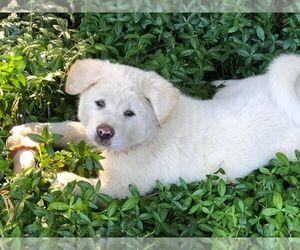 Akita Puppy for sale in BELFAIR, WA, USA