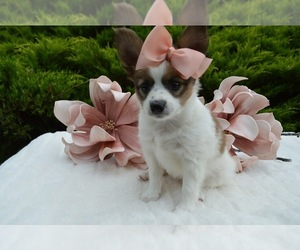 Papillon Dog for Adoption in HONEY BROOK, Pennsylvania USA
