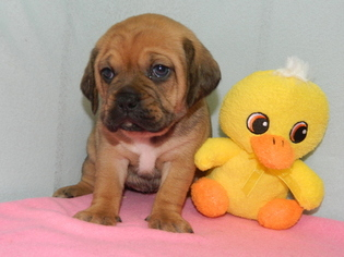 Puggle Puppy For Sale in WARSAW, NY, USA