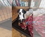 Puppy 6 Australian Shepherd-Beagle Mix