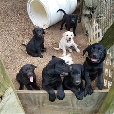 Labrador Retriever Puppy For Sale in BYHALIA, MS, USA