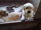 Golden Retriever Puppy For Sale in WILLIAMSTOWN, KY, USA