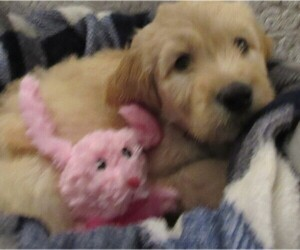 Goldendoodle Puppy for sale in FARMINGTON, NY, USA