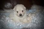 Pomeranian Puppy For Sale in GRAYSON, Louisiana,