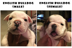 Bulldog Puppy For Sale in KISSIMMEE, FL