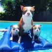 Boston Terrier Puppy For Sale in PALM BEACH GARDENS, FL, USA