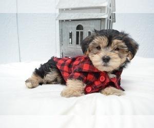 Puppyfinder com: Morkie puppies puppies for sale near me in