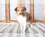 Eloise Adorable Female AKC Sheltie Puppy