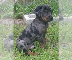 Catahoula Leopard Dog Dog for Adoption in NEW BERN, North Carolina USA