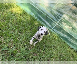 Dalmatian Puppy for Sale in MERRITT IS, Florida USA