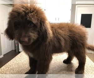 Newfoundland-Poodle (Standard) Mix Puppy for Sale in KEWANEE, Illinois USA