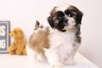 Shih Tzu Puppy For Sale in NAPLES, FL