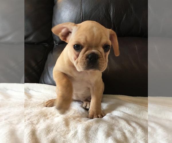 PuppyFinder com - View Ad: Photo #7 of Listing French Bulldog Puppy