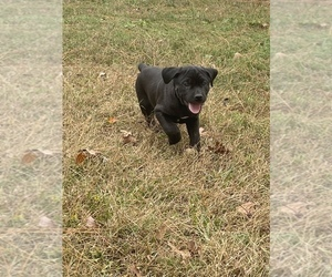Cane Corso Puppy for sale in BRAGGS, OK, USA