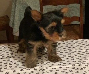 Yorkshire Terrier Puppy for sale in LAMAR, CO, USA