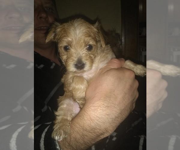 PuppyFinder com - View Ad: Photo #3 of Listing Morkie Puppy