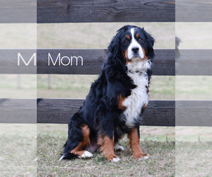 Mother of the Bernedoodle puppies born on 01/29/2021