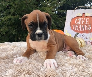 Boxer Puppy for sale in BROOK PARK, PA, USA