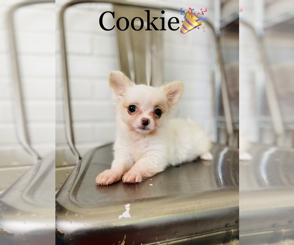 Medium Photo #7 Chihuahua Puppy For Sale in COOKEVILLE, TN, USA