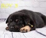 Small #9 German Shepherd Dog-Wolf Hybrid Mix