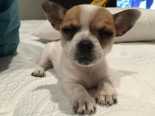 Chihuahua Dog For Adoption in SAN JOSE, CA
