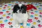 Japanese Chin Puppy For Sale in TUCSON, AZ, USA