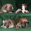 American Bully Puppy For Sale in LITTLESTOWN, PA