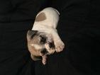 Bulldog Puppy For Sale in PURDY, MO, USA