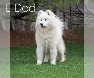 Father of the Samoyed puppies born on 10/12/2020