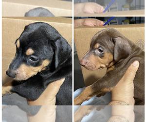 Doberman Pinscher Puppy for sale in ARROWHEAD FARMS, CA, USA