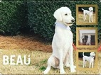 Small Photo #13 Poodle (Standard) Puppy For Sale in TRYON, NC, USA