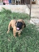 Mastiff Puppy For Sale in NEW BRAUNFELS, TX, USA