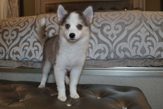 View Ad: Pomsky Litter of Puppies for Sale near Massachusetts USA